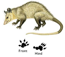 No, sorry, try again. I am the Common Opossum.